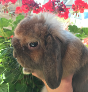 Friendly Male Holland Lop Bunny