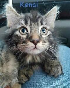 "Baby Male Cat - Domestic Medium Hair-Tabby: ""Jacques"""