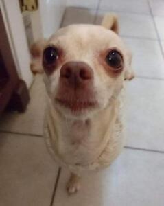 "Adult Female Dog - Chihuahua: ""CHULA"""