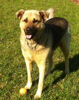 "Adult Female Dog - German Shepherd Dog-Mastiff: ""Zena"""