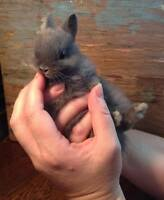 We have babies!  Adorable pedigreed Netherland dwarf bunnies