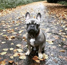 French bulldog 10 month old