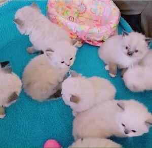 Ragdoll Siberian kittens