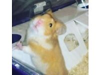 Male hamster and cage