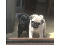 Two Stunning Pug Puppies For Sale