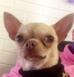 Female Chihuahua for sale- Registered breeder Mundaring Mundaring Area Preview