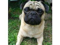 Cute Pug for sale
