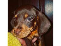1 Chocolate Dachshund boy left for sale