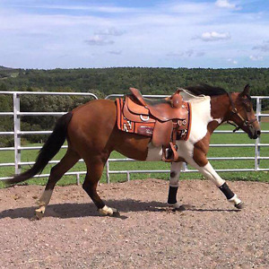3 year old pinto cross mare