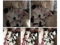 Toy cavapoo puppies toy poodle x cavapoo please read the whole advert