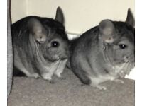Two grey chinchillas plus cage for sale