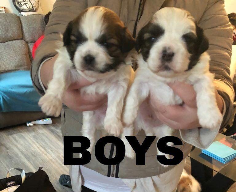 Shitzu Cross Lhasa Apso Pups In Shoeburyness Essex Gumtree