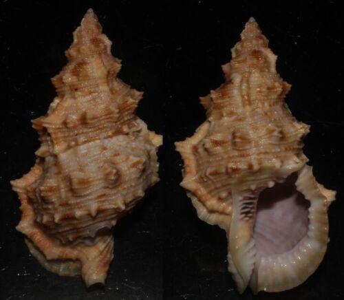 Seashells Bursa latitudo FROG SHELL 76mm F+++/GEM Superb Color Marine Specimen