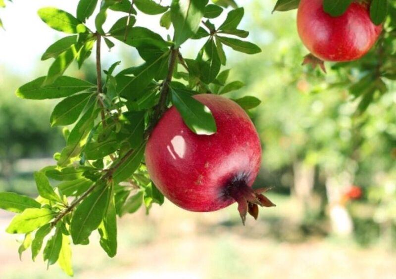 How to Plant a Pomegranate Tree | eBay