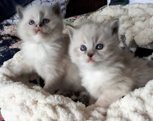 TICA Reg'd Ragdoll Kittens available April 15th for Easter!