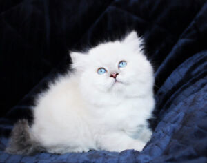 BLUE EYED PERSIAN KITTEN ARE READY FOR ADOPTION