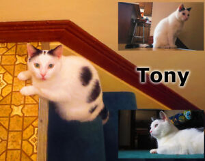 Tony - Lost Male Cat - White with Black Shorthair