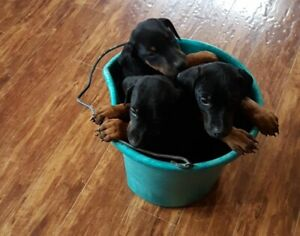 Doberman puppies ready in time for Valentines day