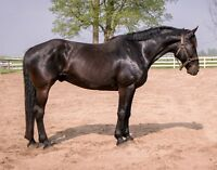 selection of horse for sale