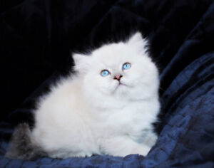 Dollface Persian Kittens with Blue Eyes