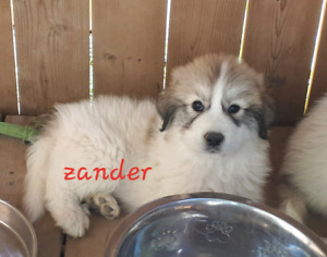 ***REDUCED*** Last 3 pups in need of great home. Great Pyrenees