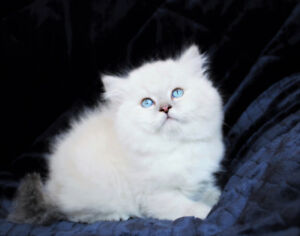 Blue Eyed DOLLFACE Persian Kittens for Rehoming