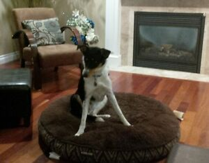 Looking for good re-home for Border Collie/Rough Coat Mix