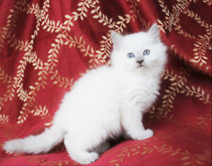 Beautiful Female Ragdoll Kittens are Ready for Rehoming