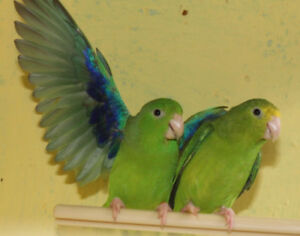 ❤️⭐❤️Baby⭐Parrotlets Available with Cage❤️⭐❤️