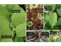 Japanese Knotweed and invasive weeds eradication and treatment.