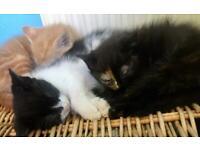 Beautiful Ragdoll X Burmese kittens