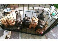 Pedigree shar pei pups for sale