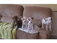 Bullweiller puppies