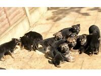 KC REGISTERED PEDIGREE GERMAN SHEPHERD PUPPIES