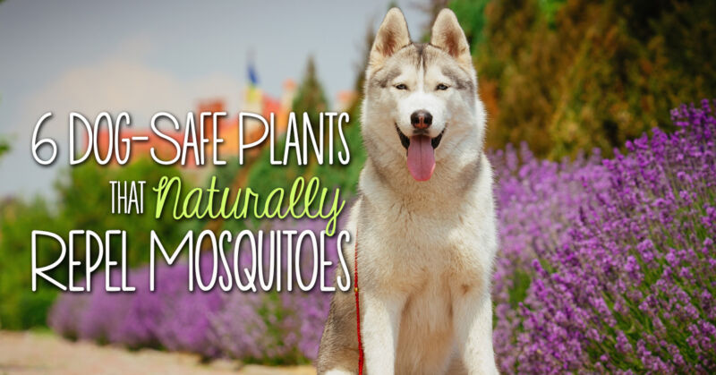 6 dog safe plants that naturally repel mosquitoes other for Dog safe houseplants
