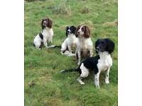Dog Trainer. Budeaux English Springer Spaniels