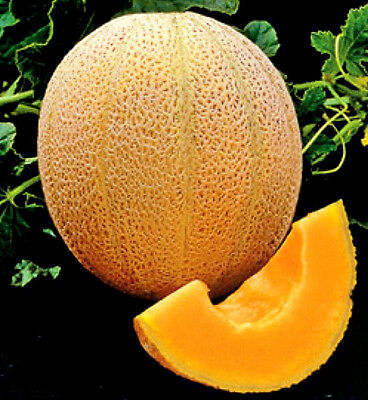Cantaloupe Seed, Muskmelon Seeds, Hale's Best, Heirloom Melon Seed, Non-Gmo