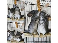 Three male chinchillas plus everything they need