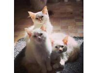 Red Ragdoll Kittens, fully vaccinated & ready now