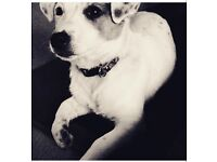 Jack Russell (Bella)