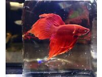 Tropical fish Guppy, Molly, Angel, Cory, Neon Tetra, & other *Home Delivery*