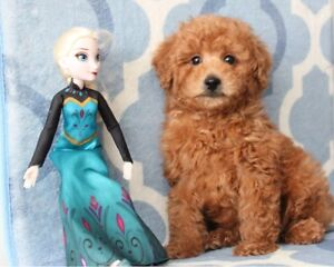 Beautiful toy Red apricot Toy poodle puppy
