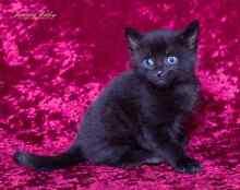 Alpha rescue kitten VET WORK INC Baldivis Rockingham Area Preview
