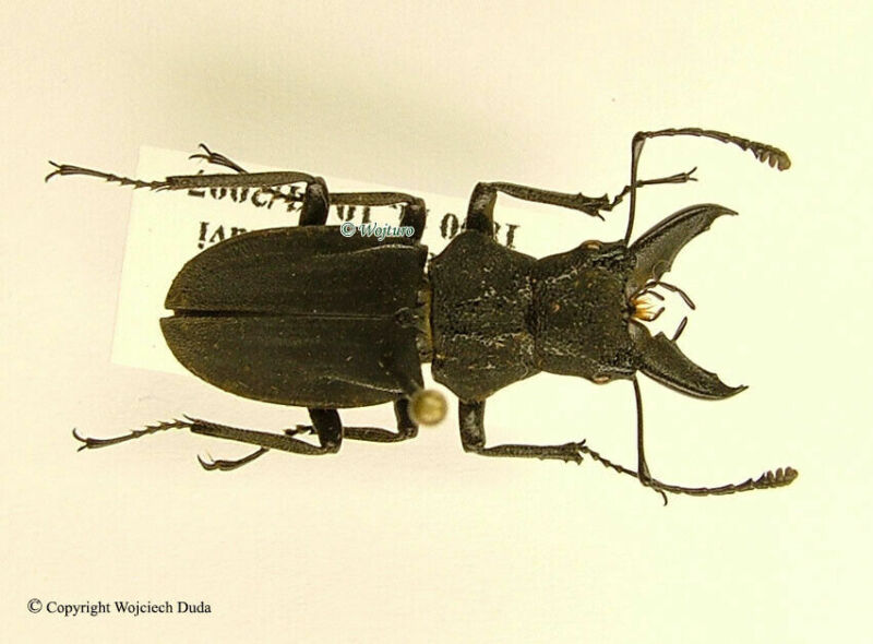 Cantharolethrus sp, New species? Gynandromorph? Bolivia, Extremly Rare, 20mm