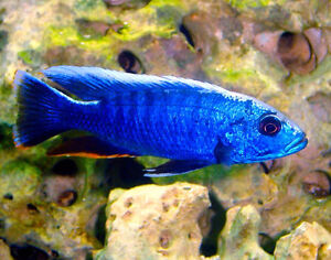 CICHLID's & PLECO CLEAR OUT $$5---- Check YOUTUBE VIDEO!