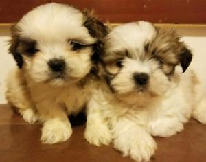 Shihtzu Ma Adopt Local Dogs Puppies In Toronto Gta Kijiji