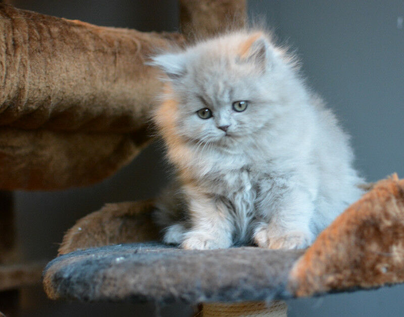 British Shorthair And Long Hair Kittens Available Cats Kittens