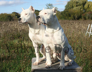 Registered Dogo Argentino Puppies