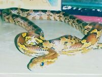 Beautiful red corn snake looking for a new home.