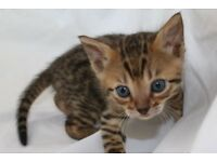 All Reserved! - Pedigree Bengal Kittens For Sale